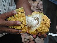 Ein Mann öffnet eine Kakaofrucht
